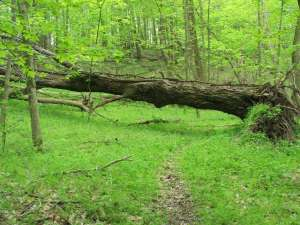 As this fallen tree breaks down, a mound will form at the base of the tree. A pit is left where the roots pulled up chunks of earth. Photo by Joe Brehm