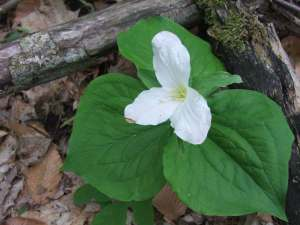 The large flowers of White Trillium (Trillium grandiflorum) are an informal indicator of a healthy forest. It can take Trillium plants a decade or more to mature to a point where they can produce flowers.
