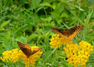 Two great spangled fritillary females. Photo by Joe Brehm