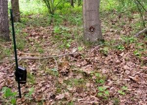 bobcat camera trap